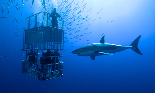 Image for Shark Diving